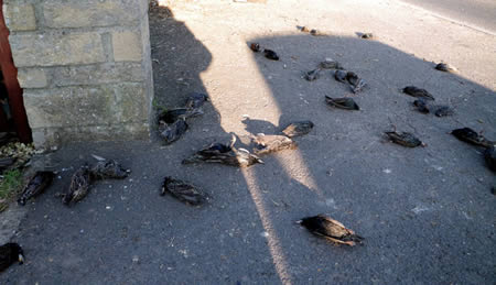 Hujan Bangkai Burung Jalak di Inggris